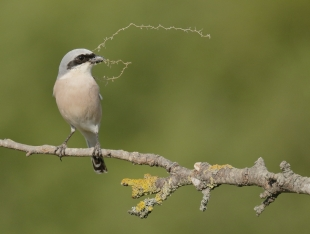 Red-backed Shrike Hide photography