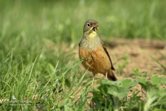 Ortolan bunting photography, Mobile hides