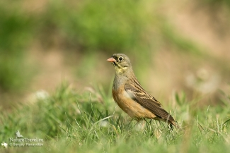 Shrikes & Buntings, Ortolan bunting photography