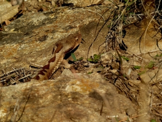 Amphibians and reptiles, Nose-horned viper (Vipera ammodytes)
