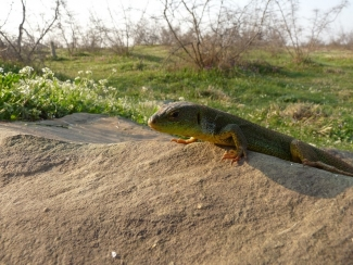 Amphibians and reptiles, European Green Lizard (Lacerta viridis)