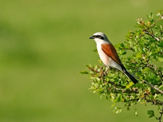 Shrikes & Buntings, Red-backed Shrike  photography, Author: Iordan Hristov © 2012
