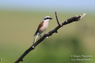 Shrikes & Buntings, Red-backed Shrike
