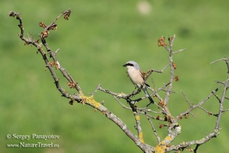 Red-backed Shrike, Mobile hides