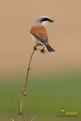 Shrikes & Buntings, Red-backed Photography © Sergey Panayotov