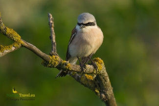Shrikes & Buntings, Hawfinch photography in Bulgaria