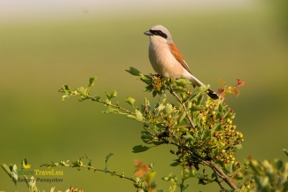 Red-backed Shrike photography (c) Sergey Panayotov, Mobile hides
