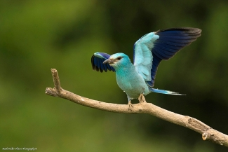 Roller / © Mark Walker, Roller hide
