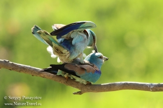 European roller photography, Mobile hides
