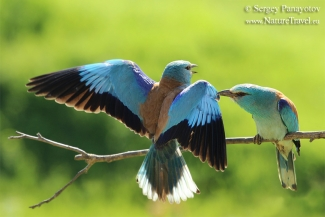 Roller - Blue love, Mobile hides