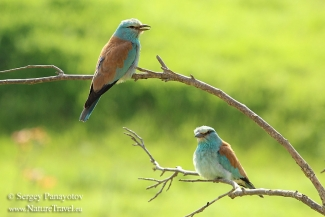 European roller photography, Bee-eater hide