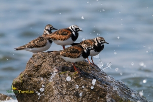 Turnstone Hide photography