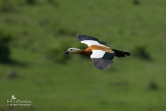 Ruddy Shelduck, Mobile hides