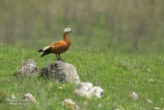 Ruddy shelduck photography, Mobile hides