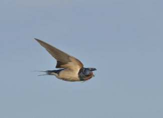 Swallow Hide photography