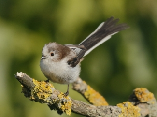 Long-tailed Tit Hide photography