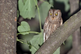 Scops Owl Hide photography