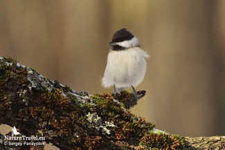 Sombre tit is regular visitor in winter feedings, Forest photo hide