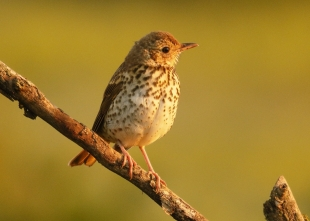 Song Thrush Hide photography