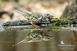 Mistle Thrush Hide photography
