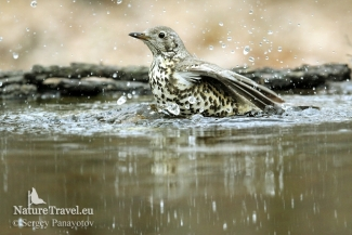 Mistle Thrush from 5 m, Forest photo hide