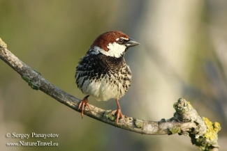 Spanish Sparrow Hide photography