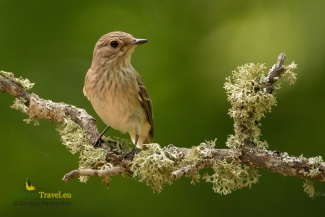 Spotted Flycatcher photography © Sergey Panayotov, Forest photo hide 2