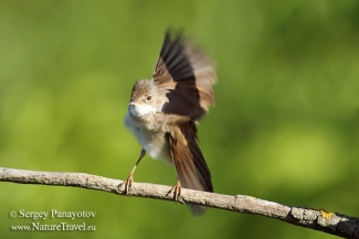 Other Birds, Common Whitethroat