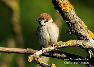Tree Sparrow Hide photography
