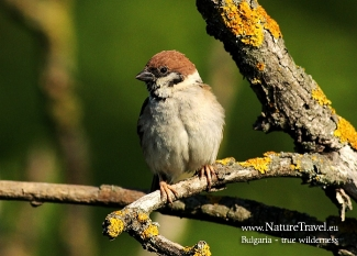 Tree Sparrow  photography in Bulgaria, © Iordan Hristov, Photo Tower hide