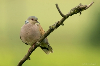 Other Birds, Turtule dove / © Mark Walker