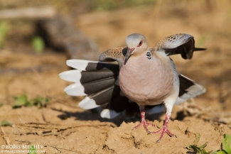 Turtle dove photography, Author: Boris Belchev © 2012, 3D Photo camouflage poncho