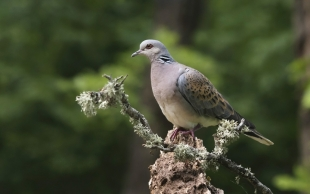 Turtle Dove Hide photography