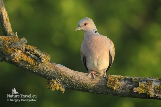 Turtule dove from 9m over the ground, Photo Tower hide