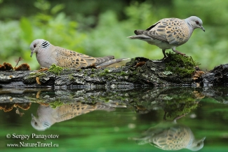 Turtule dove, Forest photo hide