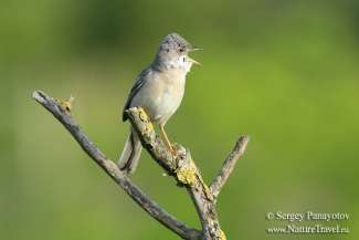 Common Whitethroat photography, Photo Tower hide