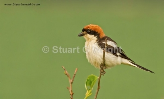 © Stuart Wright / England, Woodchat shrike / © Stuart Wright