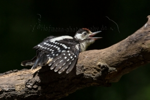 Great Spotted Woodpecker Hide photography