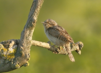 Wryneck / © Sabine Schroll, Photo Tower hide