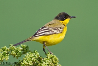 Black-headed yellow wagtail, Author: Boris Belchev © 2012, 3D Photo camouflage poncho