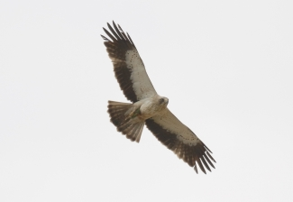 Booted Eagle Hide photography