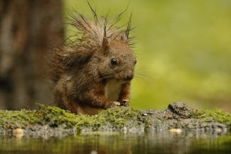 Red squirrel Hide photography
