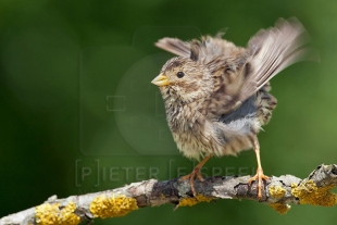 Corn Bunting Hide photography