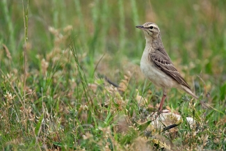 Tawny Pipit Hide photography