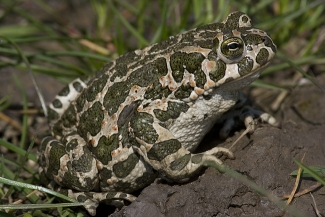 Amphibians and reptiles, Green Toad