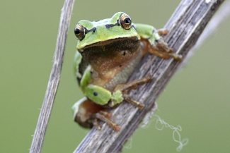 Amphibians and reptiles, Tree Frog