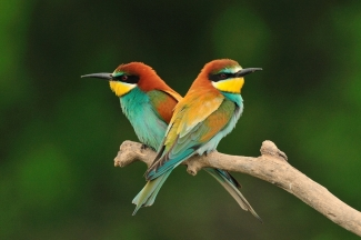 Bee-eaters Photography © Michał Wnuk, Roller hide