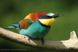 Bee-eaters, © Neil Handy / www.handybirds.de