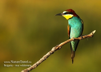 European Bee-eater  photography, Author: Iordan Hristov © 2012, Mobile hides