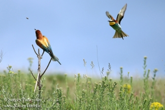 Bee-eater photography in Bulgaria, Bee-eater hide